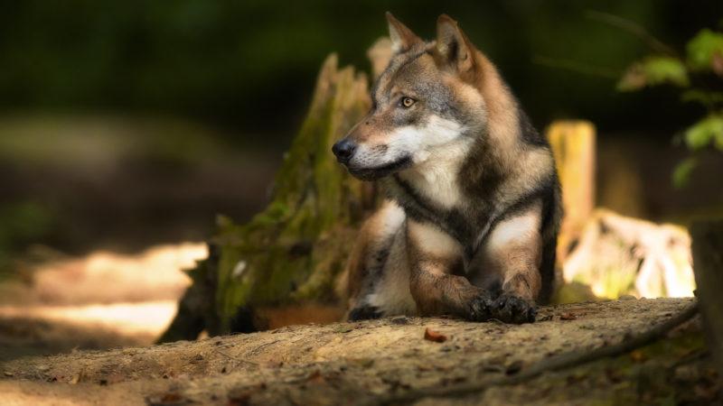 Wildpark Feldkirch trauert um Wölfin Inge