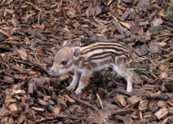 Wildschwein Baby © Manfred Baumann